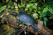 image of exoskeleton  - A red eared terrapin at Pili Palas Nature World Anglesey North Wales - JPG