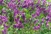 picture of lilac bush  - big and beautiful lilac bush with green leaves flower - JPG