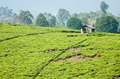 picture of farm-house  - A small open house with an iron roof stands on the top of the hill covered in the tea plantation. A small figure in red is visible in the house which is used for collection of the freshly picked tea on this farm near Rungwi Souther Tanzania. ** Note: Vis - JPG