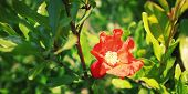 picture of  photo  - Red Pomegranate flower  - JPG