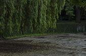 stock photo of weeping  - Weeping willow in garden - JPG