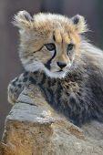image of cheetah  - young cheetah cub lying and lurking on wooden log - JPG