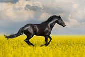 image of wild horse running  - Black horse run in the meadow with yellow flowers - JPG