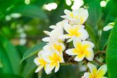 image of frangipani  - Frangipani flowers on a tree in the garden - JPG