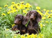 picture of dandelion  - purebred dachshund and dandelions - JPG