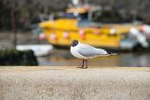 foto of anglesey  - A black headed gull on a wall next to a beach on Anglesey Wales  - JPG