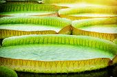 image of lilly  - Closeup of giant water lillies - JPG