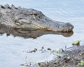 stock photo of alligators  - Alligator head shot on the banks of a river.