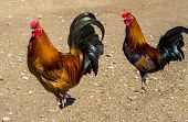 stock photo of fighting-rooster  - roosters farming birds walking on the farm - JPG