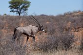 picture of antelope horn  - close up portrait of Gemsbok Oryx gazella dominant Gemsbok antelope in the park Kalahari South Africa - JPG