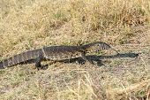 stock photo of lizards  - Monitor Lizard Varanus niloticus on savanna nambwa park Namibia Africa - JPG