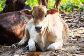 foto of eat grass  - young baby cow eat fresh green grass on soil ground culture thai agriculture vintage style - JPG
