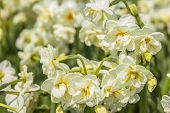 pic of cowslip  - background blur varietal daffodils in a park in Istanbul - JPG