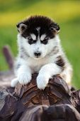 stock photo of husky sled dog breeds  - cute puppy of alaskan malamute dog in summer - JPG
