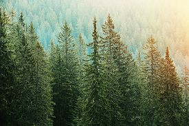 foto of ecosystem  - Healthy big green coniferous trees in a forest of old spruce fir and pine trees in wilderness area of a national park lit by bright yellow sunlight - JPG