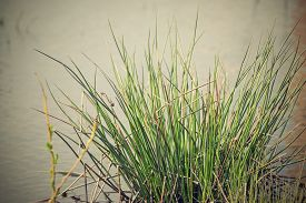 image of marshlands  - hummock with a bunch of a marsh grass on marshland water - JPG