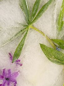 stock photo of bubble sheet  - beautiful organic abstraction from a sheet of bright purple lupine and hyacinth flowers frozen in water with green leaves and bubbles - JPG