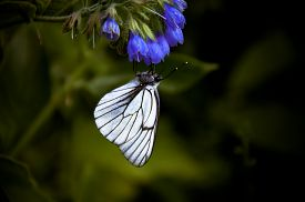 stock photo of borage  - Hawthorn butterfly on a blue borages flower - JPG