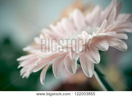 Daisy gerbera flower background