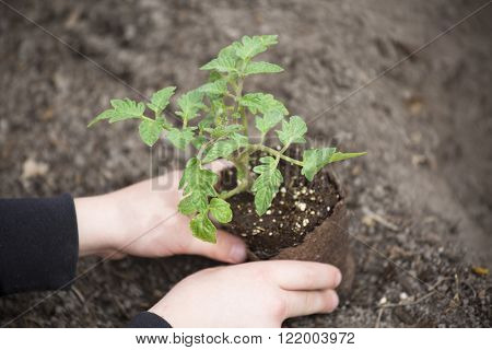 Planting a young tomato seedling plant in a vegetable garden
