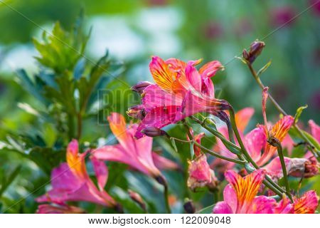 Alstroemeria Golden Lily-of-the-Incas Peruvian Lily 'Orange King'