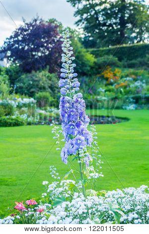 Delphinium 'After Midnight' close up of abundant blue flowers on a single stem