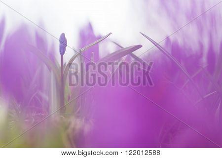 Beautiful macro photo of wildgrowing scilla in purple naturals colors