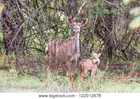 A wet kudu cow and calf in the rain in the Mountain Zebra National Park near Cradock in South Africa