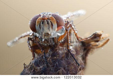 Fly with waterdrops on eyes close up