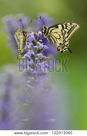 Two butterflies in nature on flower in summer