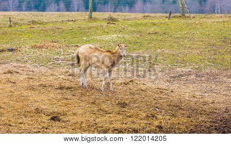 David's Deer (Elaphurus davidianus) photographed in animal park