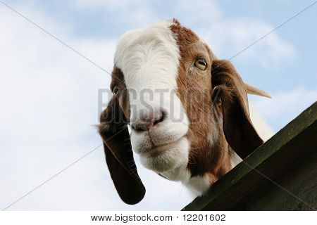 Boer goat looking over a gate