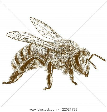 Vector engraving antique illustration of honey bee isolated on white background