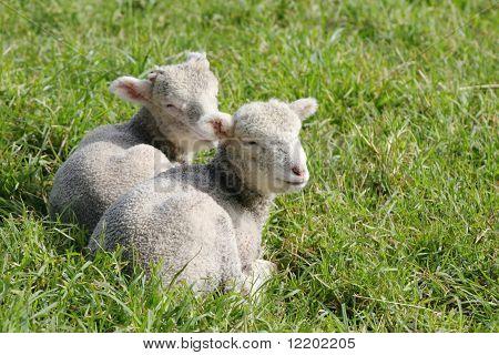 Twin lambs  in the paddock