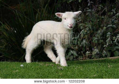 Lamb walking on the grass