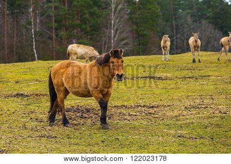 Przewalski horse portrait. Wild horse photographed in animal park.