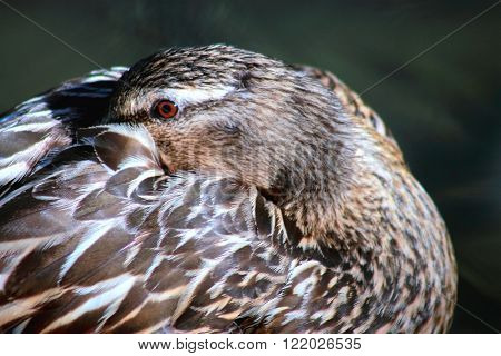 close up image of a female mallard duck with it's beak nuzzled into it's feathers.