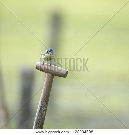 Blue tit on shovel in garden