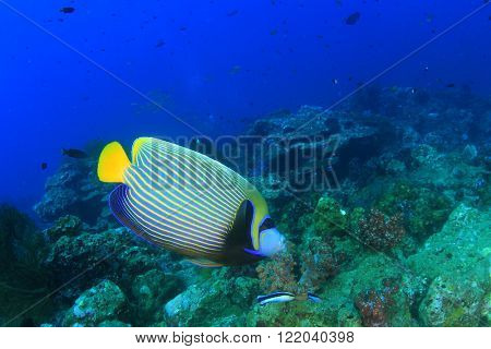 Fish on coral reef: Emperor Angelfish