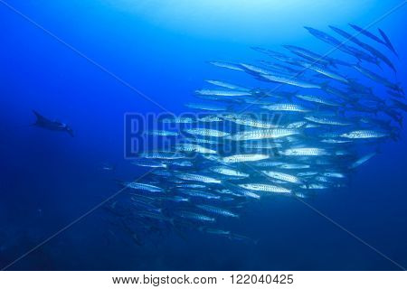 Barracuda fish school and manta ray