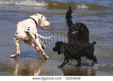 Dogs frolicking in water on Yorkshire beach