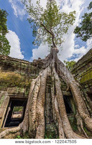Tree Growing On Ta Prohm Ruins