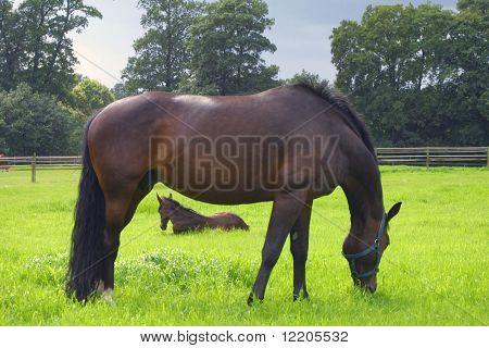 Pferd und Fohlen im Feld