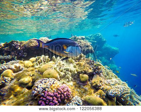 Underwater world of the Red Sea in Egypt. Corals and fish