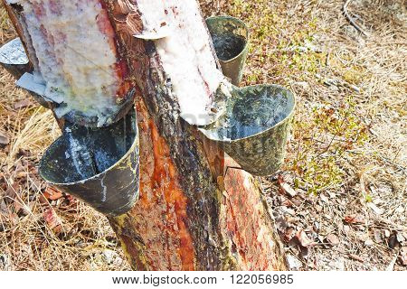 Extraction of natural resin from pine tree trunks - (Europe - Portugal).