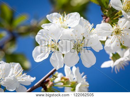 nice blossomed tree branch at spring