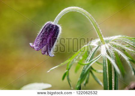 nice spring pasque flower macro shoot