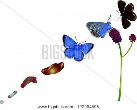 It is illustration of life cycle of common blue.