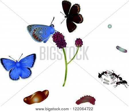 It is illustration of life cycle of common blue