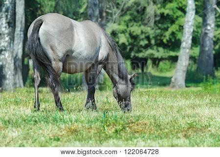 Full length portrait of feeding heck horse at green summer bushy background